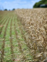 Part of this wheat field north of Sheppard Air Force Base was harvested last weekend before rain showers caused delays.