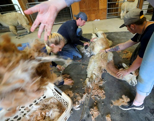 Professional shearer Tom Lamonico, center, and headsman Ben Byers, right, quickly cut the fleece off an alpaca as Molly Busby, left, and Brynna Wells gather the fleece and put it into a basket at Sawdust Hill Alpaca Farm in Poulsbo on Friday, June 7, 2019.
