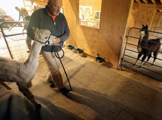 Steve Hogg leads one of the farm's alpacas through a stall and then out to a pasture after it was sheared at Sawdust Hill Alpaca Farm in Poulsbo on Friday.