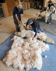 Ben Byers, left, holds an alpaca named Pheobe's head as shearer Tom Lamonico works to get the fleece off in one piece at  Sawdust Hill Alpaca Farm in Poulsbo on Friday, June 7, 2019. Behind them Kevin Kerns and Mitch Hettinger wrangle another alpaca down on the mat for its turn.