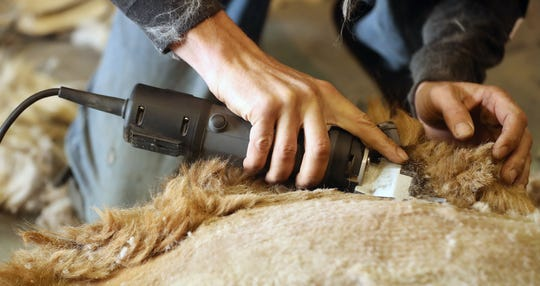 Professional shearer Tom Lamonico quickly moves his clippers through the fleece of an alpaca at Sawdust Hill Alpaca Farm in Poulsbo on Friday.