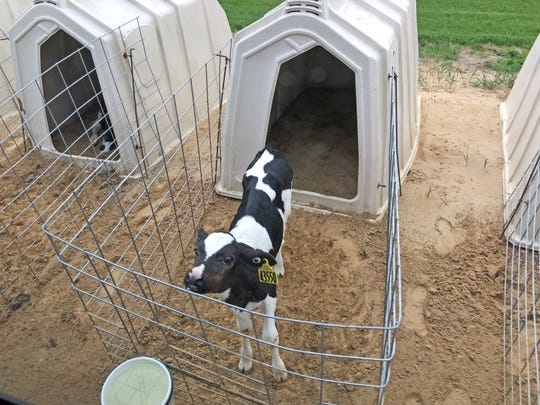 Shortly after birth, the calves at Fair Oaks Farms are separated from their mothers and placed in their own huts. Bull calves here are sold, but heifers – the females – become milking cows.