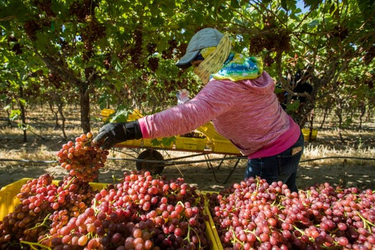 The annual grape harvest in the Coachella Valley has begun after a late start due to the heavy winter rains.