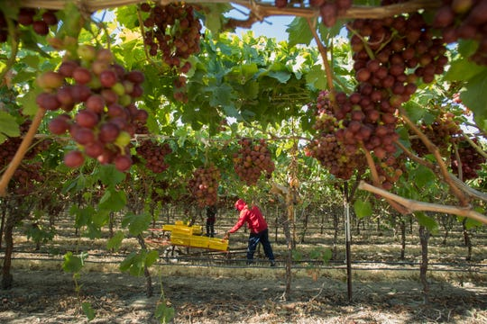 in this photo a worker harvests grapes in Mecca earler this month. The harvesting is late this year due to the cooler temperatures that continued into the month of May.