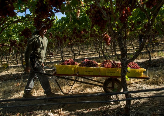 Grape harvesting in the Coachella Valley was delayed this year due to the colder temperatures that continued through May.