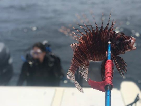 An example of a lionfish catch from the Texas Lionfish Control Unit's hunts in the Gulf of Mexico.