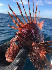An example of a lionfish species caught during a Texas Lionfish Control Unit hunt in the Gulf of Mexico.