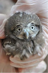 Four cactus ferruginous pygmy-owls hatched at the Phoenix Zoo as part of a pilot breeding program. The owl is considered a species of greatest conservation need in Arizona with less than 100 of the birds in the state.