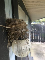 Robins often build their nests on trees or human structures.