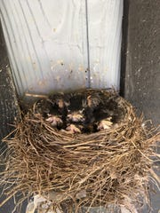 Robins gaze out from their nest as they grow older.