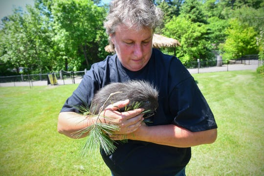 Executive director Marnita Van Hoecke holds Eugene, one of two five-week-old porcupines at Pine Grove Zoo Thursday, June 6, in Little Falls.