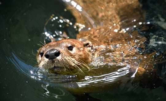 River otters are now a featured exhibit at Pine Grove Zoo in Little Falls.