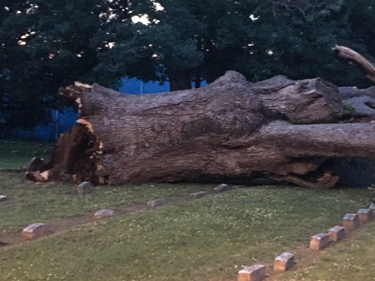 The venerable Salem Oak tree in New Jersey, which stood for almost 600 years, fell on Thursday evening.