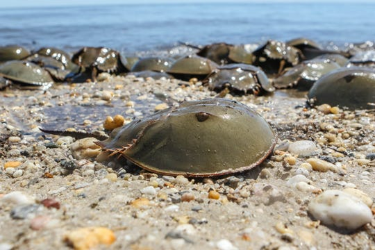 Horseshoe Crab at Pickering Beach during spawning season.