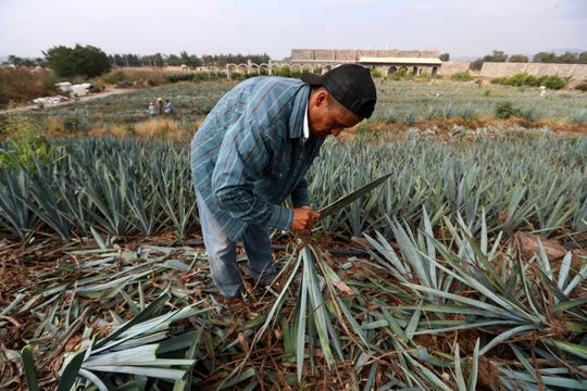 "In this Wednesday, June 5, 2019 photo, a worker uses a machete to harvest ""blue agave"", in El Arenal, Jalisco state, Mexico."