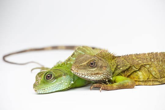 The Smithsonian's National Zoo was the first to confirm facultative parthenogenesis in Asian water dragons, a species of lizard. A female Asian water dragon, left, hatched August 2016 and is the only surviving offspring of her 12-year-old mother, right.