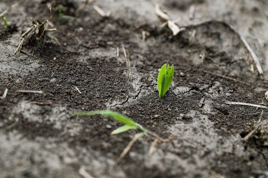 A young cornstalk sprouts up in a Hancock County field in Indiana, Thursday, June 6, 2019. More than 5.5 million acres of Indiana farmland were scheduled to be planted with corn this year, but as of June 2, only 31 percent has been planted due to wet spring weather.