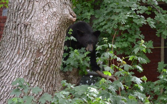 Residents found this young black bear hanging out in a tree in midtown Harrisburg on Saturday.