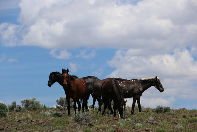 Wild horses are seen in the Virginia City Highlands and the Virginia Range near Reno on June 2, 2019.