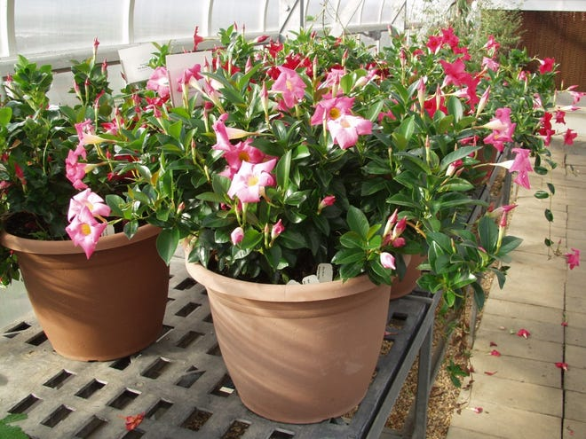 The Rio Series Mandevilla works well as a container ornamental according to horticulture experts with Texas A&M AgriLife Extension Service.