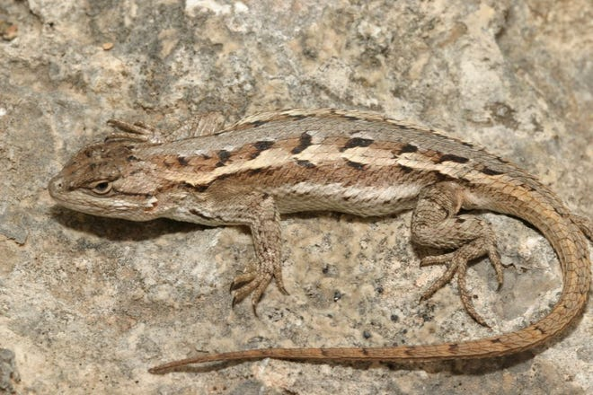 This species of spiny lizard is oftentimes far more terrestrial than the majority of its cousins. It thrives in areas of openness such as grasslands, rocky hillsides, and semi-arid scrublands.