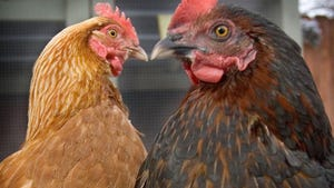 """St. Francis residents can now keep chickens if they apply for a """"chicken permit."""""""