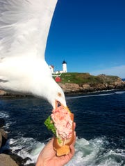 A seagull takes a bit of Alicia Jessop's lobster roll as she was taking a selfie Friday in York, Maine.