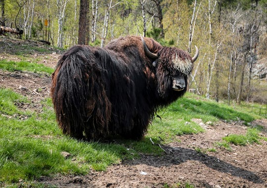 In a May 30, 2019 photo, Hue the yak bull at Yak Ridge Cabins and Farmstead near Cosmos Mystery Area in Rapid City.
