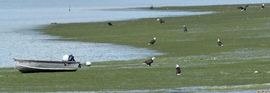 Bald eagles hang out in the tidelands just north of Big Beef Creek in Seabeck on Saturday, June 8, 2019.