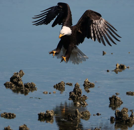 A bald eagle comes in for a landing during low tide in June at Big Beef Creek in Seabeck. The Great Peninsula Conservancy has announced the purchase of over 1,000 feet of shoreline along the Hood Canal in the Big Beef Creek estuary.