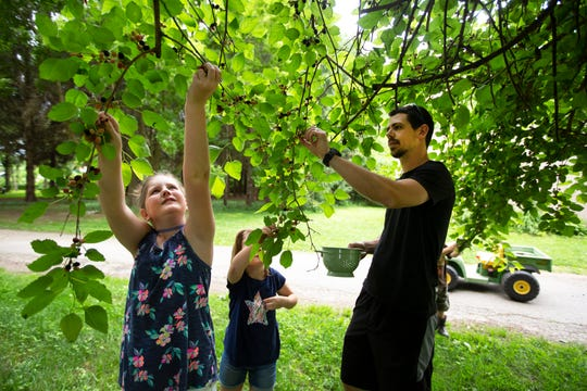 Jake Cassinari and children, LillyMae, 10, left, and Zoe, 6, pick mulberries from their front yard at their home. Some went into the bowl, but many ended up in their mouths.