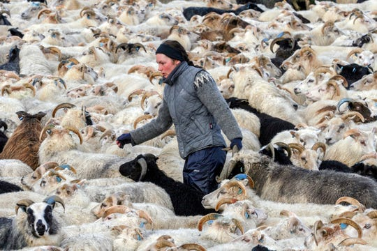 In this Sept. 12, 2009 file photo, a farmer wearing a traditional 'lopi' wool sweater rounds up sheep in Skeidin, South Iceland.
