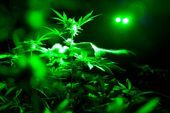 Head of cultivation at Loving Kindness Farms Jason Roberts checks one of his marijuana plants in a grow room wearing green lights not to wake them wake them during their night cycle in Gardena, Calif.