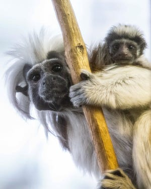 Potter Park Zoo announced the birth of three critically-endangered Cotton-Top Tamarins on May 23. The parents didn't pick up one of the babies to care for it, and it died June 9 after staff members attempted to provide care.
