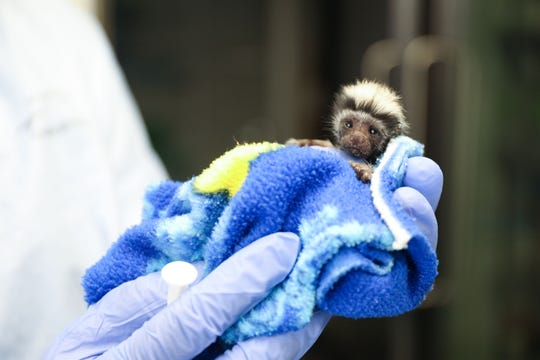 Potter Park Zoo announced the birth of three critically-endangered Cotton-Top Tamarins on May 23.