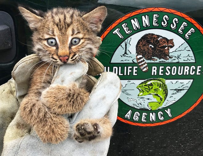 A bobcat kitten was rescued by a Shelby County Wildlife Officer after becoming stuck behind a pool pump in a Collierville backyard.