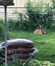 A doe takes a rest in the Morgan family's yard on June 9 in Wauwatosa. The doe had a wild encounter with Zuzu the dog.