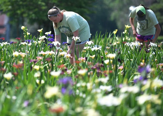 Iris City Gardens employees  Marti Ann Spicer and Kyra Bowman work in an iris bed on the Williamson County nursery on May 17, 2019. Iris City Gardens is celebrating 25 years in business.