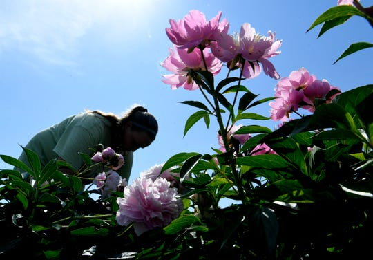 Iris City Gardens employee Marti Ann Spicer works in a garden on May 17, 2019. For 25 years, the McCullough have been growing beautiful flowers on their Primm Spring farm.