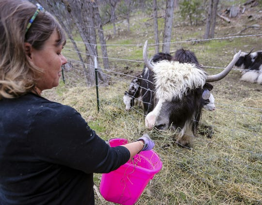Julie Smoragiewicz feeds hay to a yak at Yak Ridge Cabins and Farmstead near Cosmos Mystery Area in Rapid City, S.D.