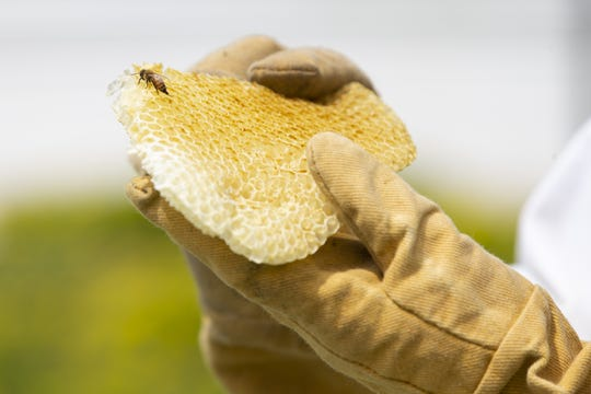 A honeybee lands on honeycomb held by Lawrence University assistant professor of biology Israel Del Toro on the roof of the Watch Campus Center in Appleton, Wis.