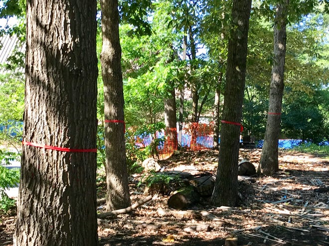 Renovations and exterior improvements to Owen and Carmichael Halls and nearby grounds at UNC Asheville will require the removal of some trees in the forested areas around the buildings. Among them are these marked with red plastic tape.