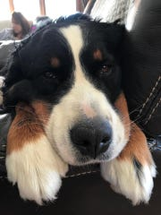 Hazel is a 4-year-old Bernese Mountain Dog who was returned to her Traverse City home after 73 days missing.