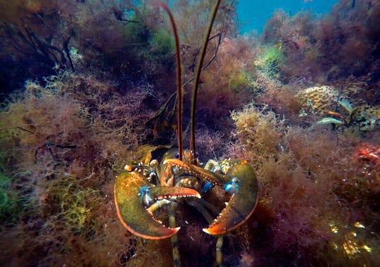 A lobster takes a defensive posture as it moves to hide below aquatic plants off the coast of Biddeford, Maine.