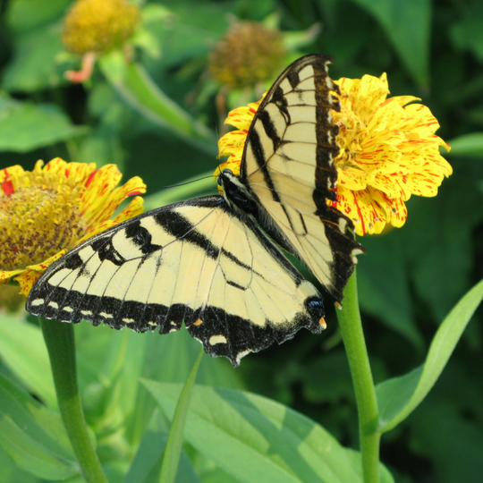 Swallowtails and other butterflies are frequent visitors to zinnias. These annuals loved for cut flowers have been a bit scare this year in garden centers.