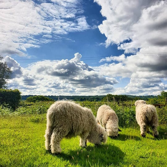 Lambs graze at Fair Oak Farm in East Sussex. Owners of the British retreat facility say they've received hundreds of hate messages since an activist group on June 4 released video of animal abuse at Indiana's largest dairy operation, Fair Oaks Farm.