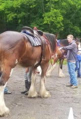 U.S. Rep. Tim Burchett sizes up a Clydesdale.