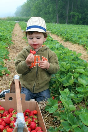More berries get eaten than put into the basket by young pickers like Corban Sherwood, shown at age 2.