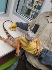 A stray iguana stayed at the Farmington Regional Animal Shelter while looking for its owner.