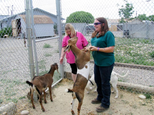 Shelter Director Tina Roper and shelter employee Rosemary Boucher play with  Jasper, a pit bull mix, and two goats, Monday, June 23, 2014, at the Aztec Animal Shelter.